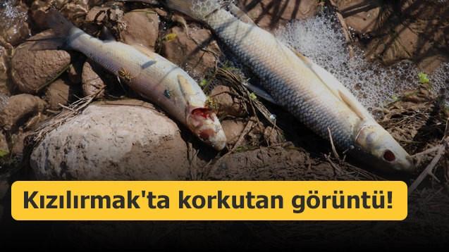 Kızılırmak'ta Balık Ölümleri Korkutuyor